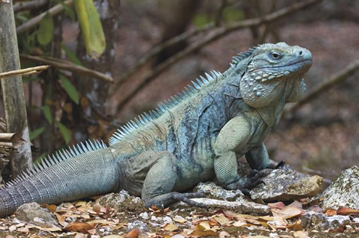 ブルーイグアナの写真